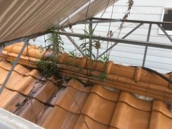 瓦屋根に生えた雑草